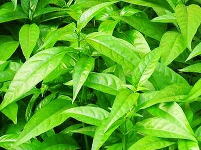 Bài thuốc chữa bệnh đau dạ dày từ cây hoàn ngọc